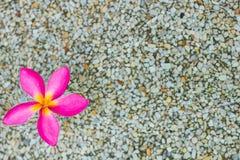 Thailändska rosa plumeriablommor med sand och waterbackground arkivbild