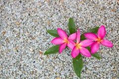 Thailändska rosa plumeriablommor med sand och waterbackground fotografering för bildbyråer