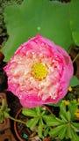 Thailändska sakrala Lotus Arkivfoto
