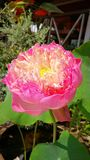 Thailändska sakrala Lotus Royaltyfria Foton