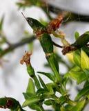 Thailändska varma Chili Pepper, ` för annuum ` för paprika thailändsk varm, Royaltyfri Fotografi