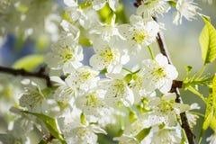 Thailändska vita Cherry Blossom på Doi Inthanon, Chiangmai, Cherry Blossom nolla Royaltyfri Foto