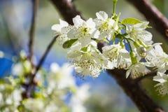 Thailändska vita Cherry Blossom på Doi Inthanon, Chiangmai, Cherry Blossom nolla Arkivfoton