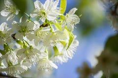 Thailändska vita Cherry Blossom på Doi Inthanon, Chiangmai, Cherry Blossom nolla Royaltyfri Bild