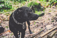 Thailändskt anseende för svart hund och head vända som lämnas Arkivbild