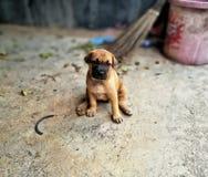Thailändskt behandla som ett barn den Ridgeback hunden & x28; hund av thailand& x29; Royaltyfri Foto