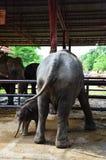 Thailändskt behandla som ett barn elefanten på Ayutthaya Thailand Royaltyfria Foton