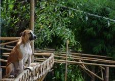 Thailändskt brunt hundsammanträde på en bambubalkong arkivfoton