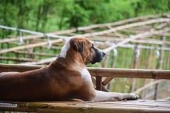 Thailändskt brunt hundsammanträde på en bambubalkong royaltyfri bild