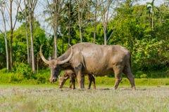 Thailändskt buffelanseende i ett gräsfält på Phang Nga, Thailand Royaltyfri Fotografi