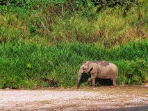 Thailändskt elefantliv Royaltyfria Bilder