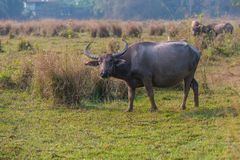 Thailändskt kvinnligt baffaloanseende i fältet Royaltyfria Bilder