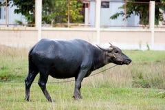 Thailändskt stå för bufflar Royaltyfria Foton