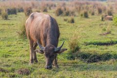 Thailändskt ungt manligt baffaloanseende i fältet Arkivbild