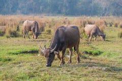 Thailändskt ungt manligt baffaloanseende i fältet Arkivbilder