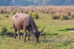 Thailändskt ungt manligt baffaloanseende i fältet Arkivfoton