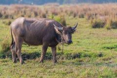 Thailändskt ungt manligt baffaloanseende i fältet Royaltyfri Bild