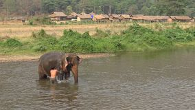 4K Mahout man washing and bathing his elephant in the river of Thailand stock video footage