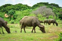 Thailand-Büffel Familie auf seinen Grasland-Ebenen 8 Lizenzfreie Stockfotos