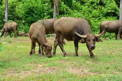 Thailand-Büffel Familie auf seinen Grasland-Ebenen 6 Lizenzfreie Stockfotos