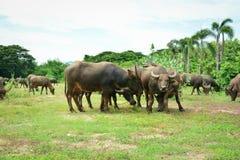 Thailand-Büffel Familie auf seinen Grasland-Ebenen 3 Stockbild