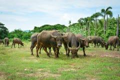 Thailand-Büffel Familie auf seinen Grasland-Ebenen 2 Stockfoto