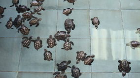Thailand Baby Green Sea Turtles swimming. In farm stock video