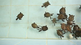Thailand Baby Green Sea Turtles swimming stock video footage