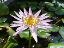 Thailand Bangkok - Pond Lilly. Scene's and attractions around Bangkok, Thailand Stock Photography