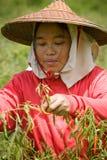 Thailand, birmanische Gastarbeiter, die Paprika auf den Gebieten ernten Stockbilder