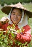 Thailand, birmanische Gastarbeiter, die Paprika auf den Gebieten ernten Lizenzfreies Stockbild