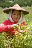 Thailand, birmanische Gastarbeiter, die Paprika auf den Gebieten ernten Stockbild