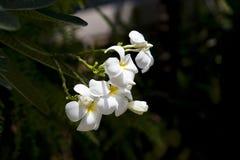 Thailand blomma Royaltyfria Bilder
