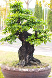 Bonsai trees. Thailand bonsai trees is beautifuls Stock Photos