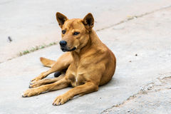 Thailand brown male dog. Royalty Free Stock Photos