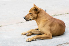 Thailand brown male dog. Stock Photo