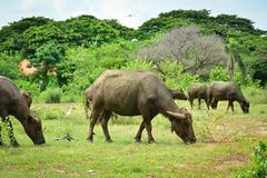 Thailand buffalo Family on his Prairie Plains 8. Take this photo at Kanchanaburi, thailand Royalty Free Stock Photos
