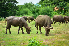 Thailand buffalo Family on his Prairie Plains 7. Take this photo at Kanchanaburi, thailand Stock Photography