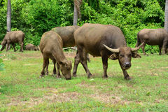 Thailand buffalo Family on his Prairie Plains 6. Take this photo at Kanchanaburi, thailand Royalty Free Stock Photos
