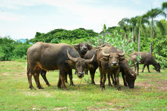 Thailand buffalo Family on his Prairie Plains 4. Take this photo at Kanchanaburi, thailand Royalty Free Stock Image
