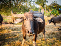 Thailand buffalo herd. Closeup face of Thailand buffalo herd in the stalls royalty free stock image