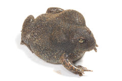 The thailand bullfrog. On white royalty free stock photos