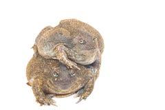 The thailand bullfrog. On white stock image
