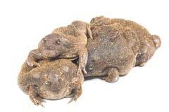The thailand bullfrog. On white stock photos