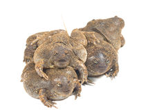 The thailand bullfrog. On white royalty free stock photography