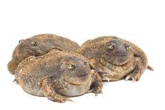 The thailand bullfrog. On white stock images