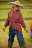 Thailand, Burmese migrant woman working in the rice field. Royalty Free Stock Images