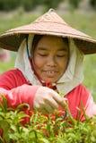 Thailand Burmese migrerande arbetstagare som skördar chili i fälten Arkivbilder