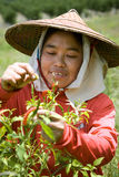 Thailand Burmese migrerande arbetstagare som skördar chili i fälten Royaltyfri Bild