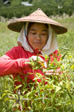 Thailand Burmese migrerande arbetstagare som skördar chili i fälten Fotografering för Bildbyråer